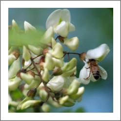 fiori acacia.jpg