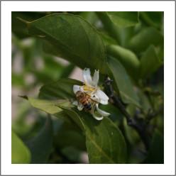 fiori agrumi.jpg